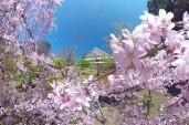 瑞雲郷桜山のしだれ桜