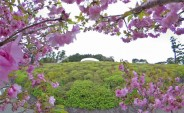 八重桜と水晶殿