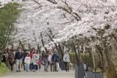 満開の桜に感嘆の声 平安郷春の一般公開に約1万人